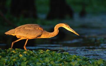 water, river, bird, pond, heron, water lilies