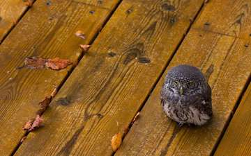 owl, leaves, board, floor, bird, avenue