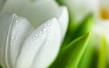 макро, цветок, капли, лепестки, белый, тюльпан