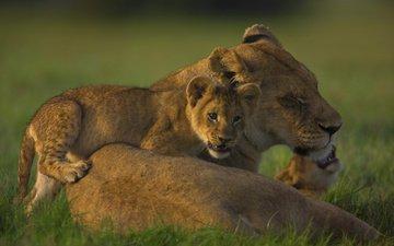 семья, львица, львёнок, прайд