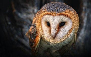 глаза, сова, птица, клюв, филин, сипуха