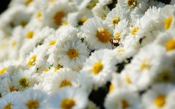 цветы, насекомое, ромашки, белые, пчела, хризантемы