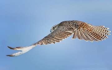 небо, полет, крылья, птица, сокол, ястреб