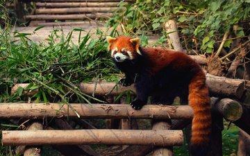 зверек, енот, красная панда