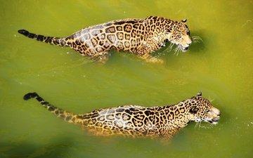 вода, хищник, большая кошка, ягуар, кошки, купание, ягуары