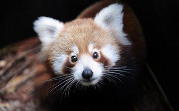 морда, зверек, красная панда, малая панда