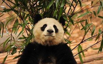 морда, зелень, листья, панда, бамбук, бамбуковый медведь
