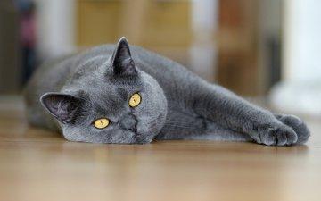 кот, кошка, взгляд, лежит, британец