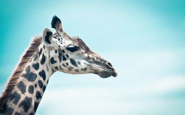 небо, животное, жираф, голова, шея