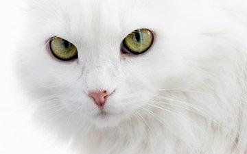 глаза, кошка, белая, пушистая, белый кот, длинношерстная, ангорская
