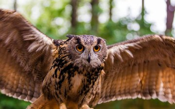 сова, природа, хищник, птица, взмах, филин, клылья