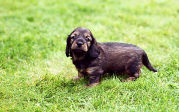 grass, dog, puppy, walk, dachshund, pretty, wire-haired