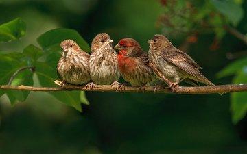 ветка, природа, листья, птицы, птички, зяблики