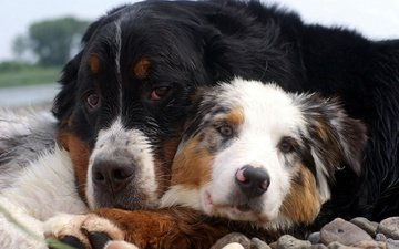 stones, friendship, friends, dogs, australian shepherd, st. bernard, bernese mountain dog