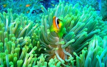 рыбы, океан, рыбка, кораллы, подводный мир, рыба-клоун, актиния