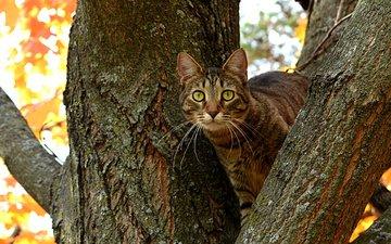 дерево, кот, ветви, кошка, осень, ствол, котэ, глазища