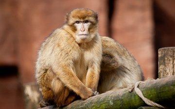 взгляд, пара, обезьяна, обезьяны, магот, варварийская обезьяна, магрибский макак