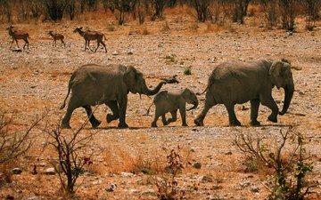 камни, песок, кусты, прогулка, семья, слоны, хобот, слоненок
