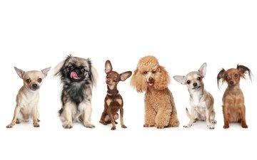 белый фон, щенки, пудель, собаки, пинчер, той-терьер, пекинесс, чихуа-хуа, пекинес