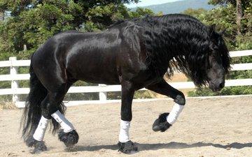 лошадь, конь, жеребец, фриз, вороной, фризская лошадь