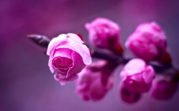 flowers, branch, macro, background, roses, purple, blur, spring, pink, bute, fon, fioletovyj, makro, rozovye, rozy, vetka, razmytost