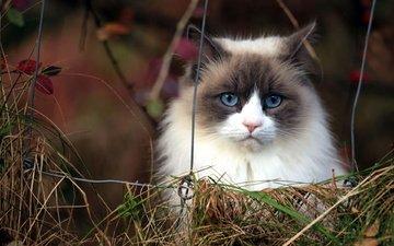 морда, трава, кот, кошка, пушистый, сиамский, голубоглазый, рэгдолл
