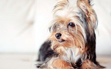 взгляд, собака, собачка, йоркширский терьер