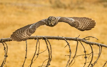 owl, branch, flight, wings, bird, great grey owl