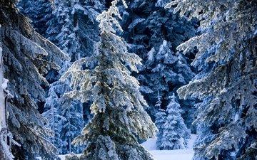 снег, новый год, лес, зима, мороз, ель, елки, ели, сугробы, зимний лес, зимний, сказочный, зимняя сказка