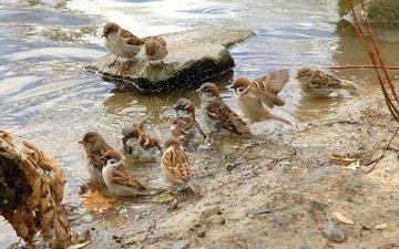вода, птицы, мокрые, перья, стая, воробьи, купаются, пернатые