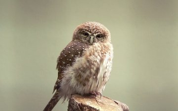 owl, look, predator, bird, beak, feathers, owlet, passerine