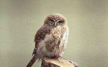 сова, взгляд, хищник, птица, клюв, перья, совенок, сыч, воробьиный