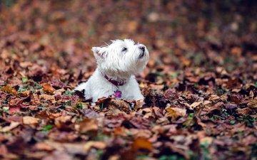 leaves, foliage, autumn, dog, the west highland white terrier