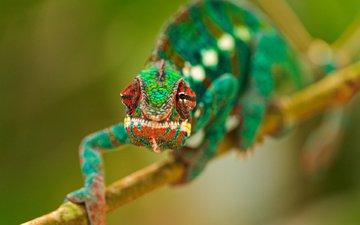 глаза, ветка, макро, разноцветный, ящерица, хамелеон, рептилия