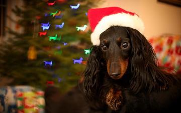 взгляд, собака, праздник, такса, спаниель, длинношерстная, новогодний колпак