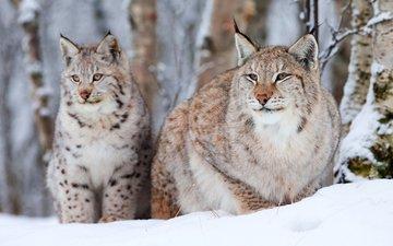 снег, лес, зима, хищник, снежный барс, большие кошки, рыси