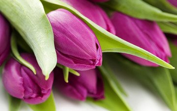flowers, macro, photo, wallpaper for desktop, tulips