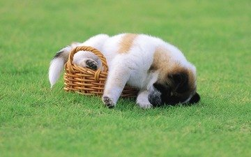 grass, puppy, basket