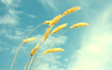 небо, облака, лето, пшеница, колоски