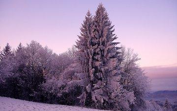 деревья, снег, природа, зима, фото, мороз, холод, сосны, ель, зимний лес