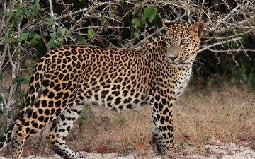 морда, трава, кусты, взгляд, леопард, пятна, хищник, профиль, колючки, гепард