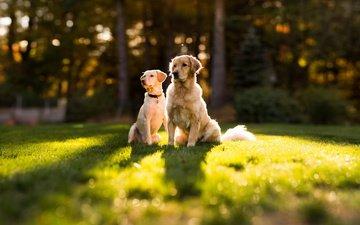 солнце, лето, лужайка, золотистый ретривер, две собаки