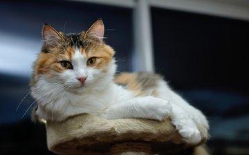 кот, кошка, лежит, мордашка, трехцветный