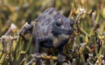 природа, фон, ящерица, растение, хамелеон