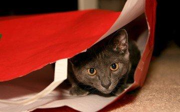 морда, кот, кошка, взгляд, серый, игра, упаковка