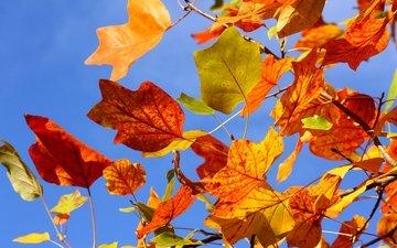 небо, дерево, листья, ветки, ветви, осень, красные, желтые