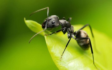 macro, insect, sheet, ant, green background