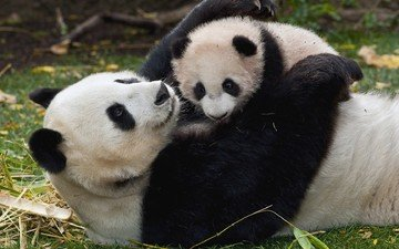 трава, панда, забота, детеныш, бамбуковый медведь, большая панда