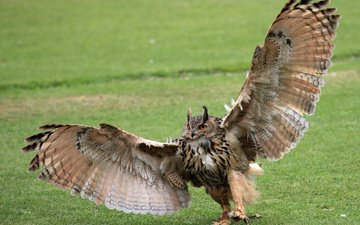 grass, owl, paws, wings, bird, green, claws, the scope