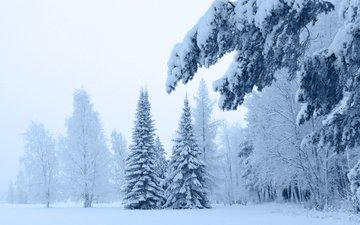 снег, зима, ветки, мороз, сосны, ель, сугробы, зимний лес